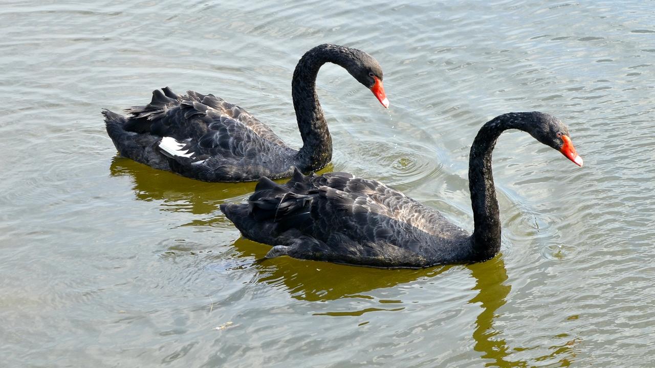 Black swans 02