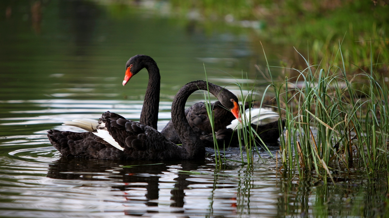 Black swans 03