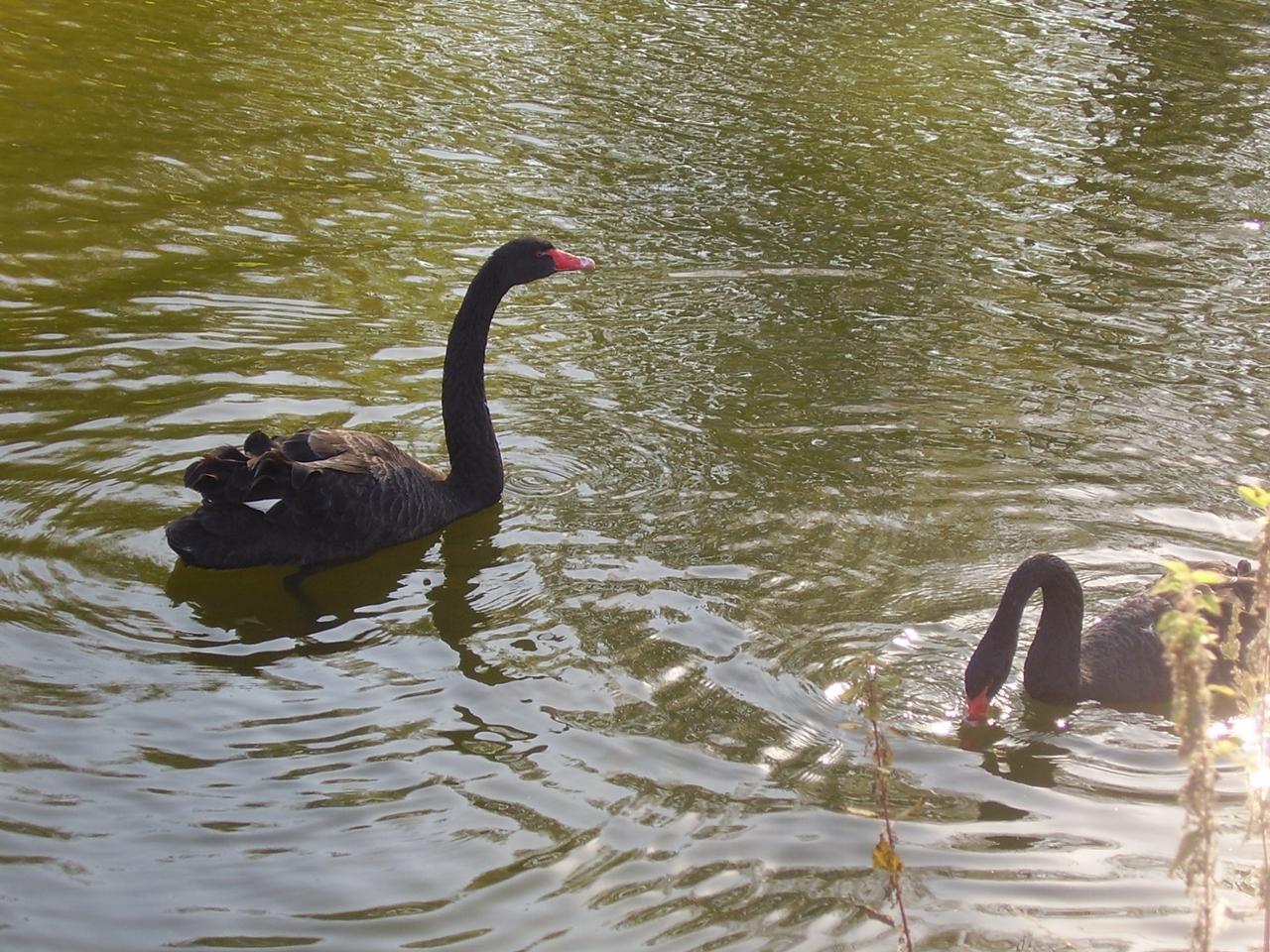 Black swans 07