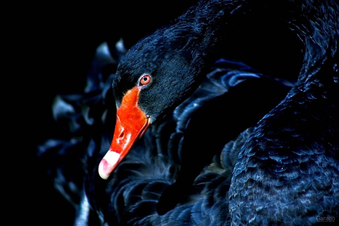 Black swans 08