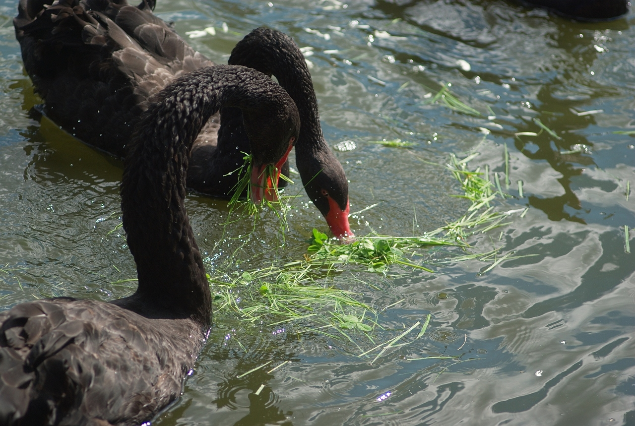 Black swans 10
