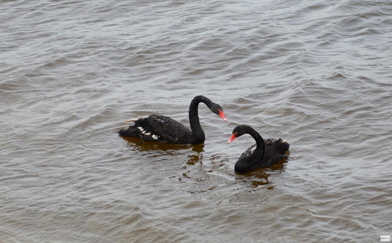 Black swans 11