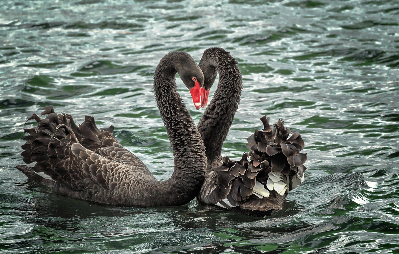 Black swans 12