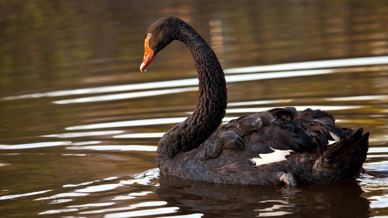 Black swans 13