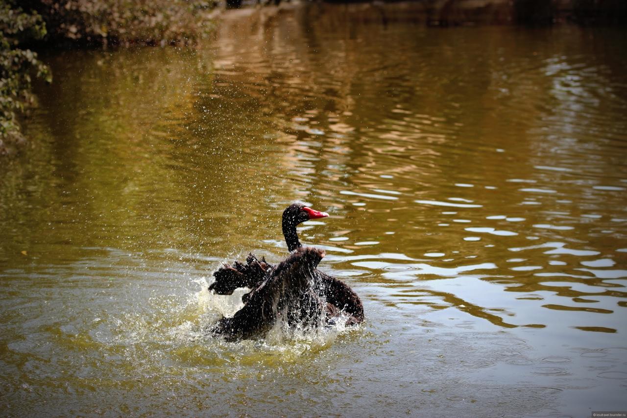 Black swans 14