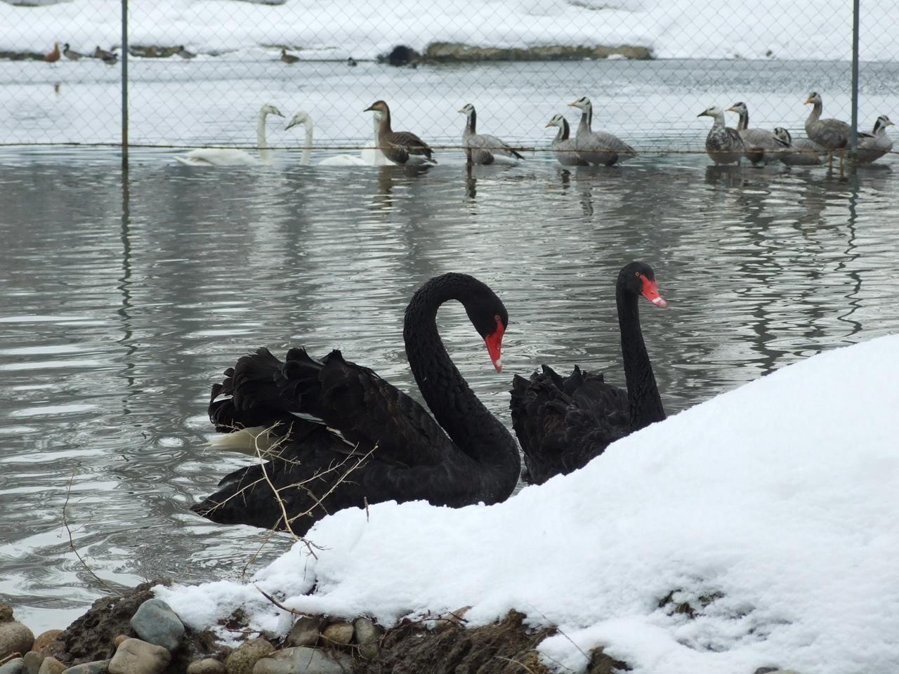 Black swans 17