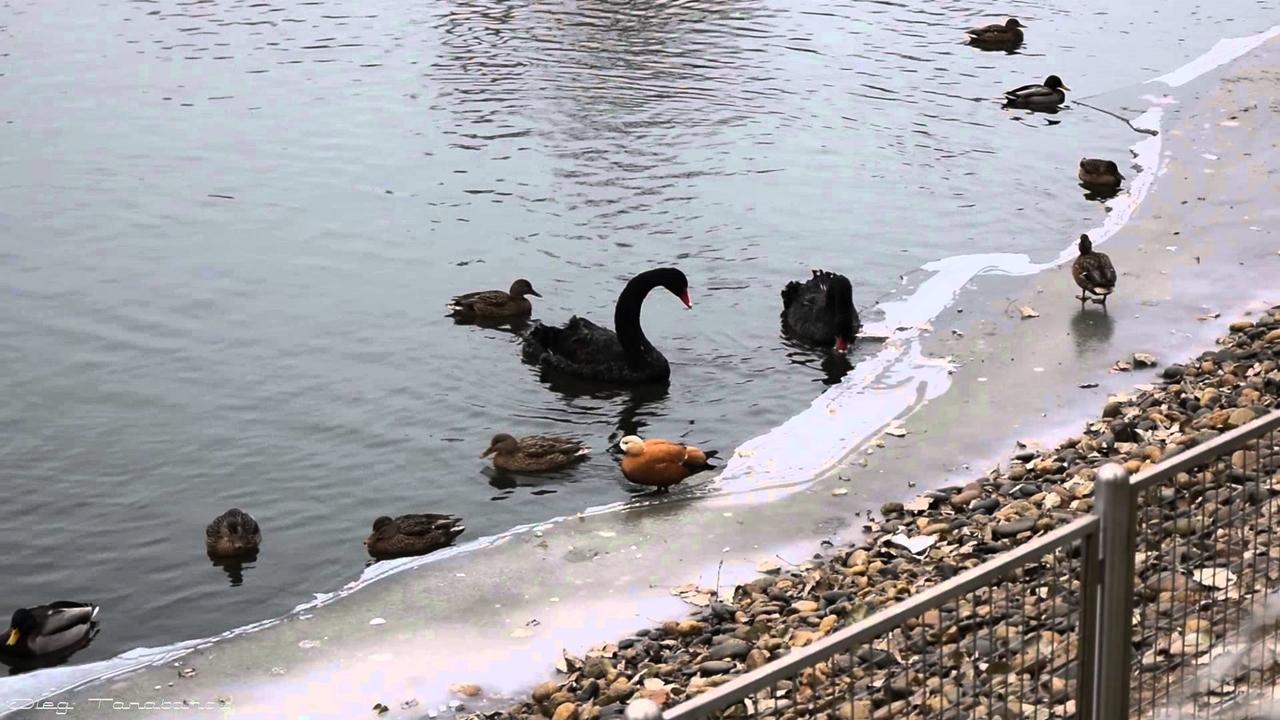 Black swans 18