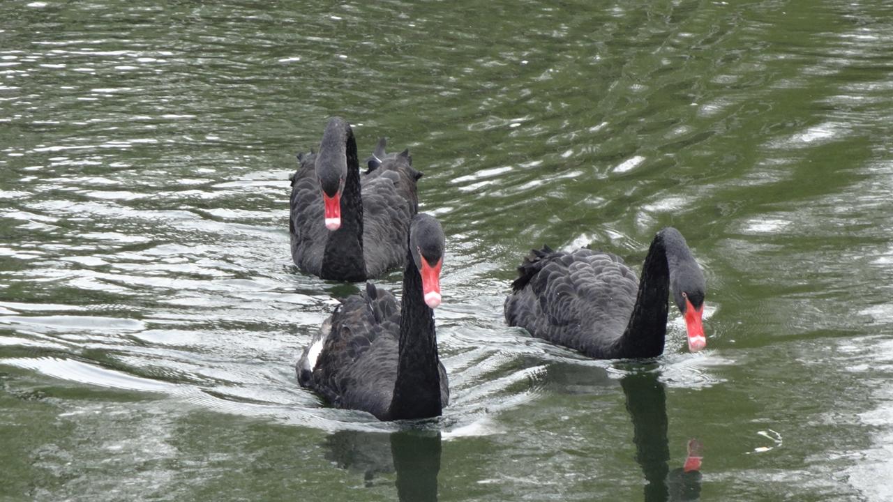 Black swans 20