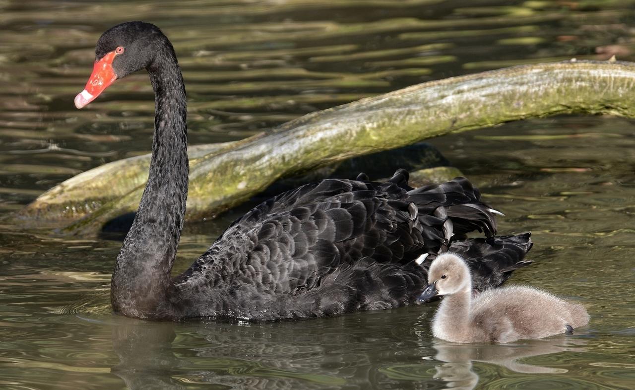 Black swans 22