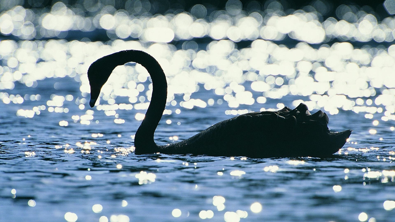 Black swans 24
