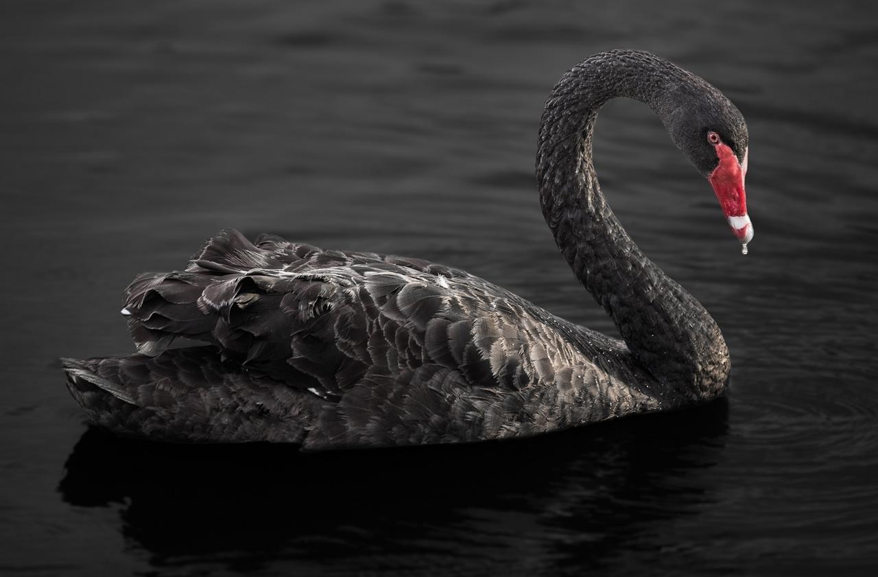 Black swans 25