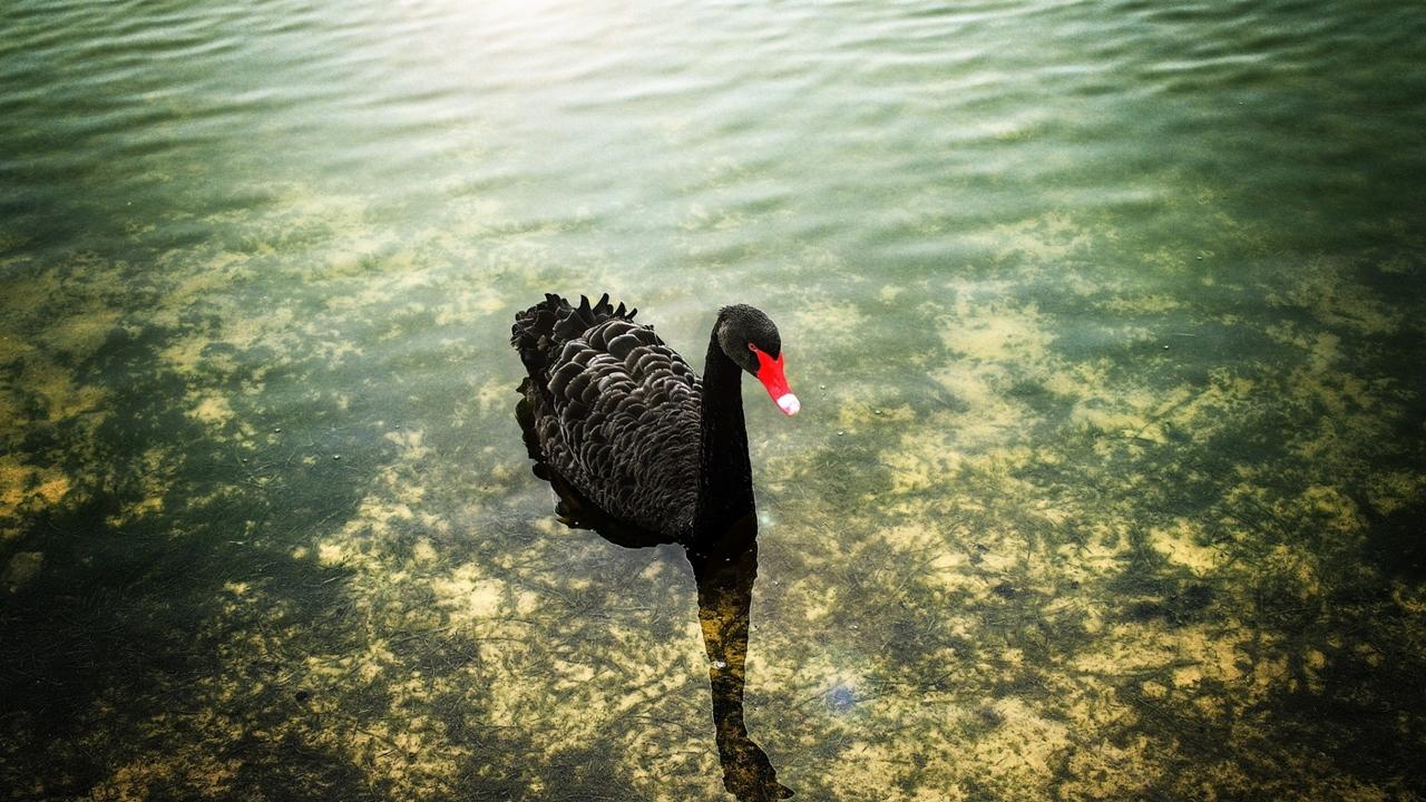 Black swans 26