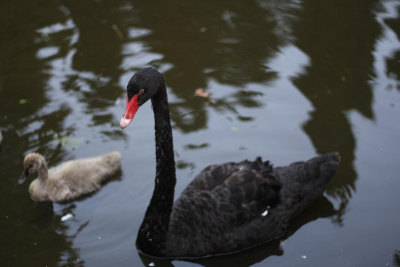 Black swans 29