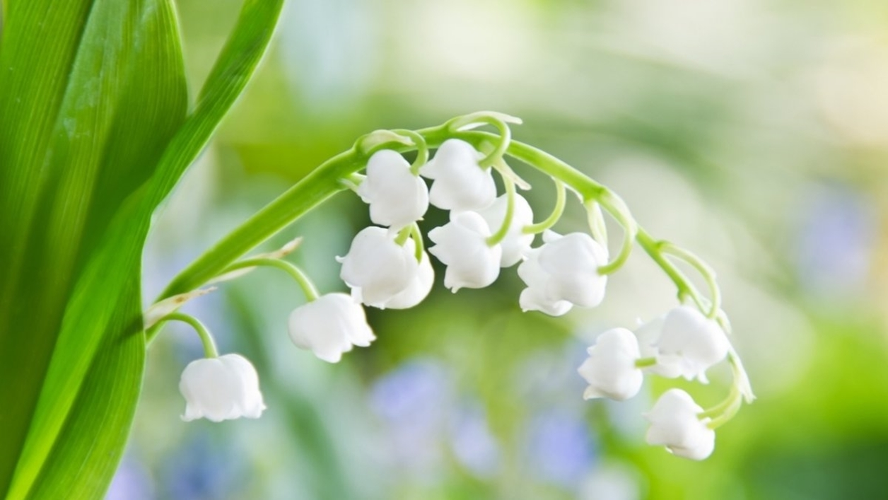 Charming Lily of the valley 01