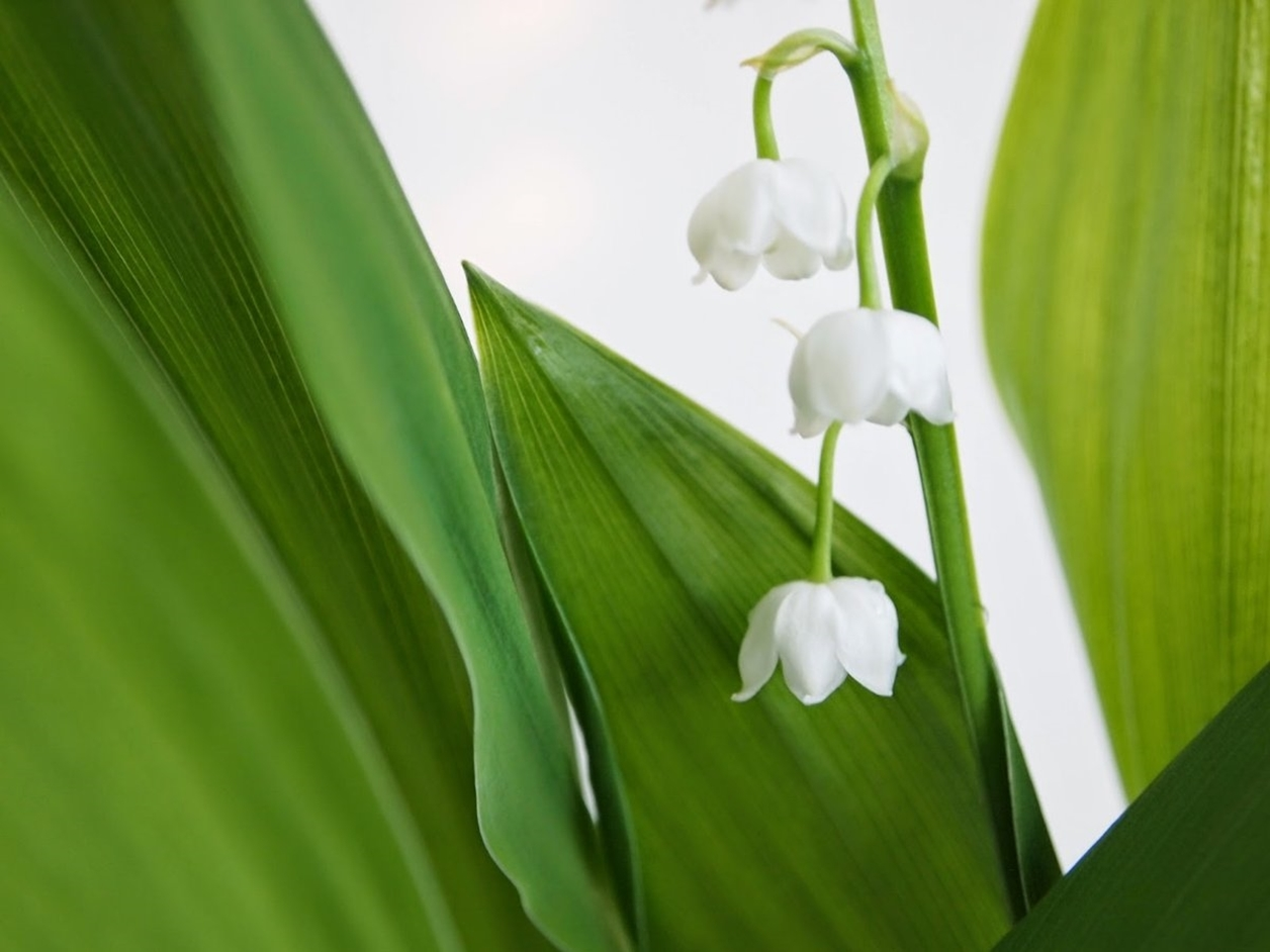 Charming Lily of the valley 04