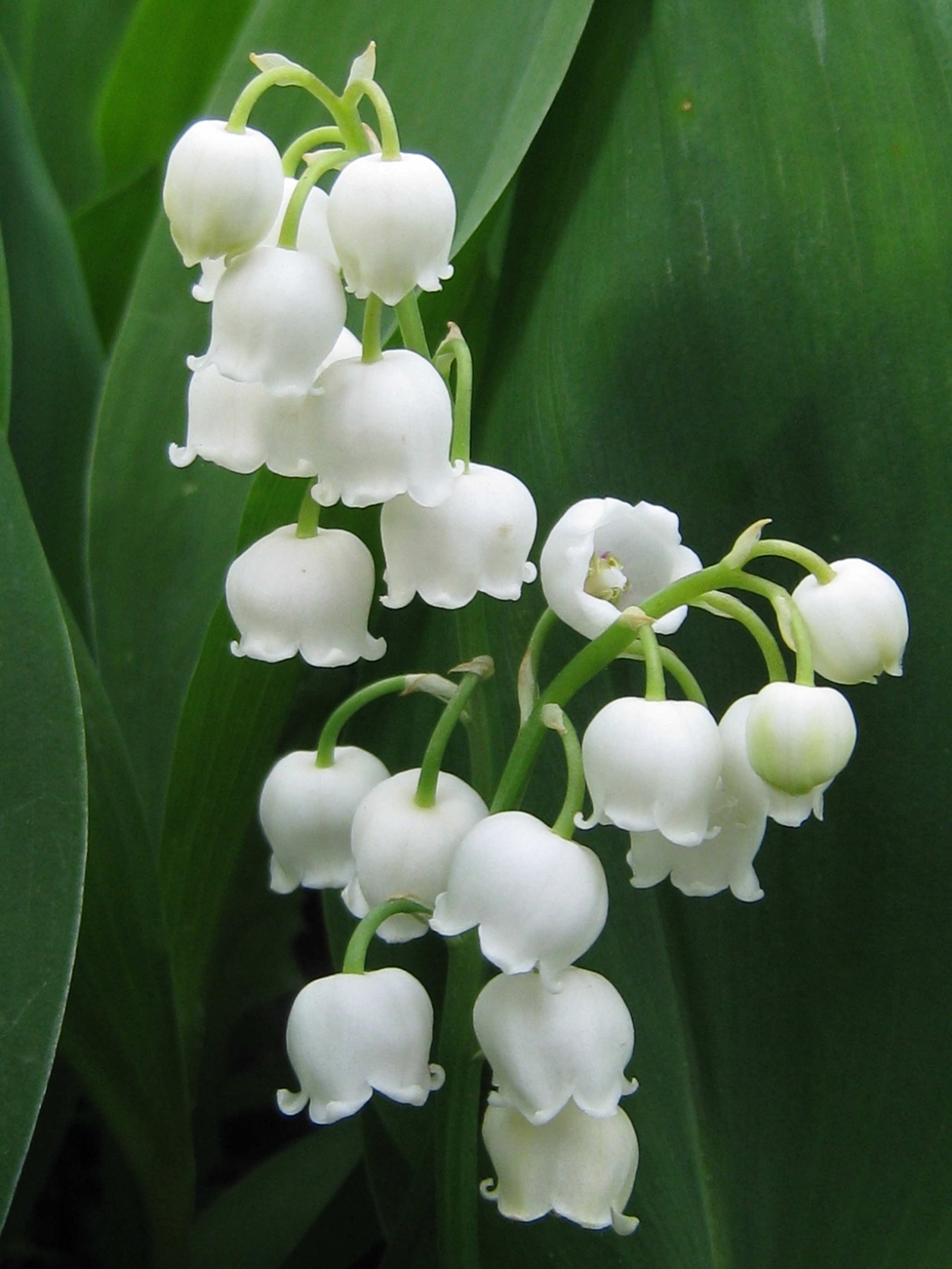 Charming Lily of the valley 08