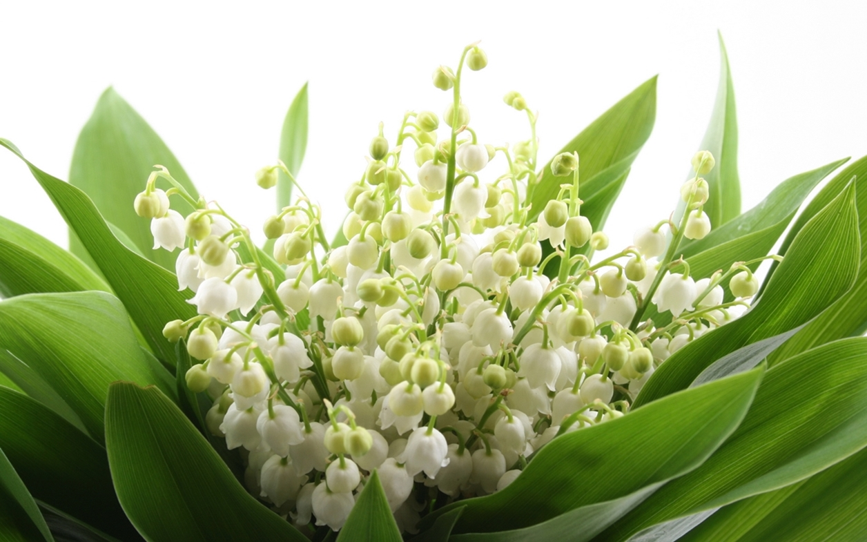 Charming Lily of the valley 12