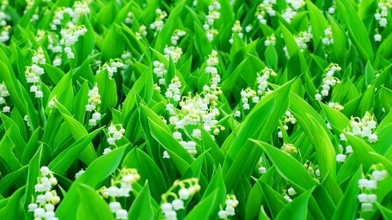 Charming Lily of the valley 13