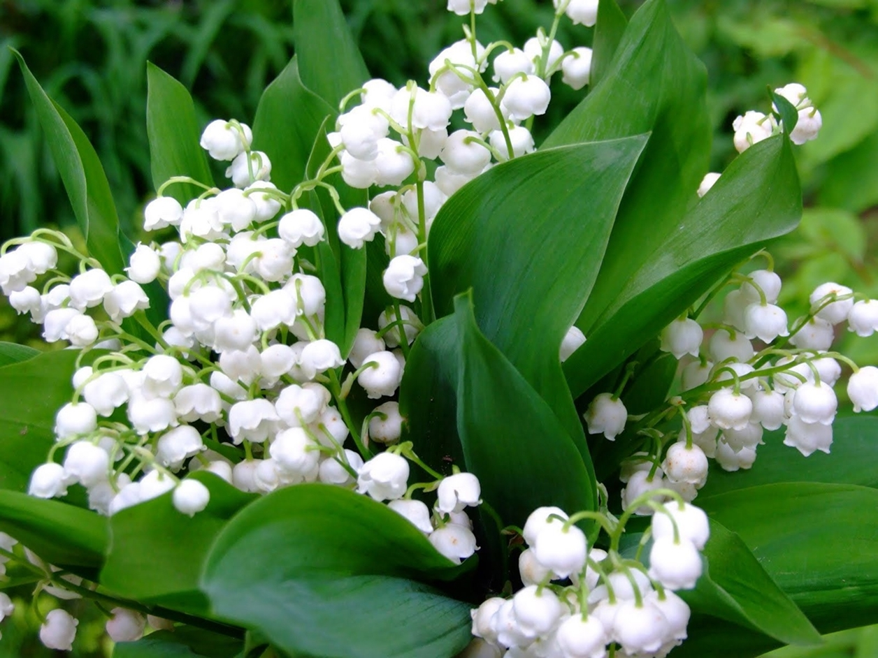 Charming Lily of the valley 14