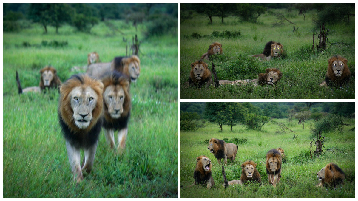 Dangerous men's club. coalition of lions in the Kruger national Park 00