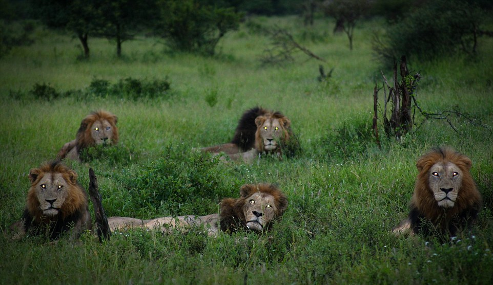 Dangerous men's club. coalition of lions in the Kruger national Park 01