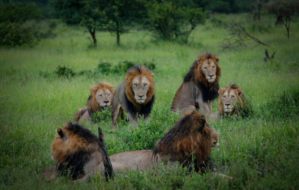 Dangerous men's club. coalition of lions in the Kruger national Park 02