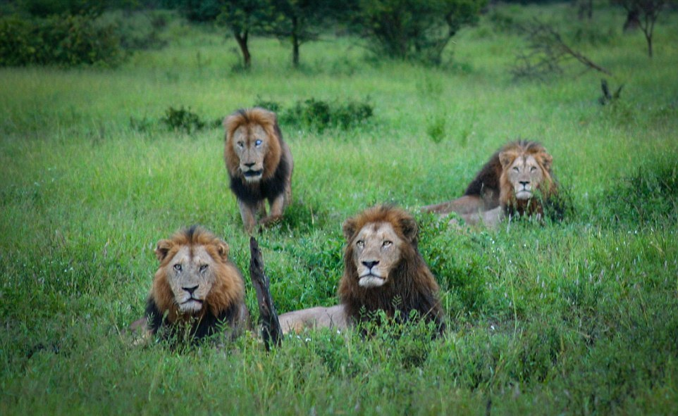 Dangerous men's club. coalition of lions in the Kruger national Park 03