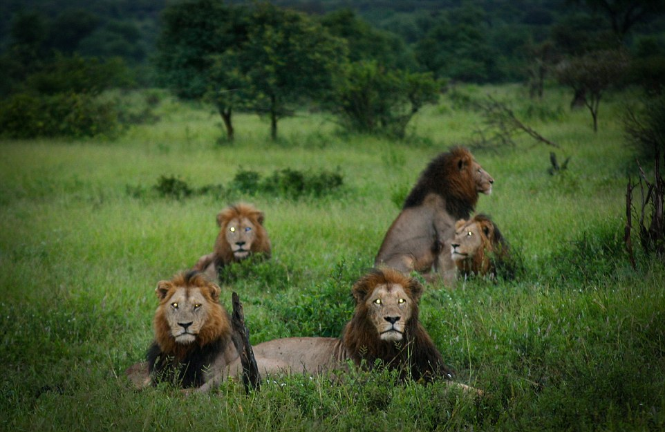 Dangerous men's club. coalition of lions in the Kruger national Park 05