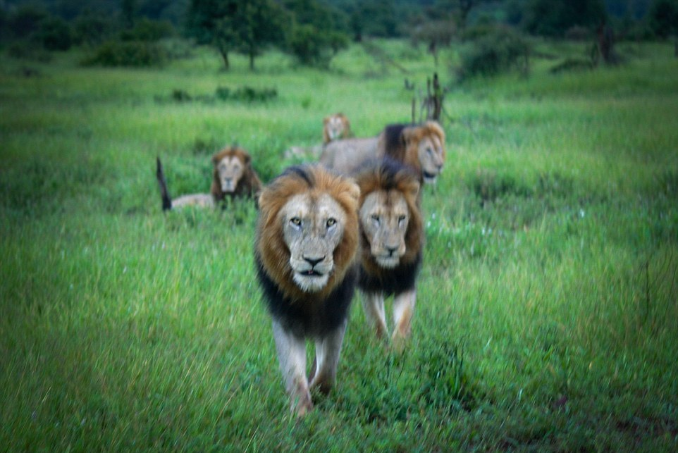 Dangerous men's club. coalition of lions in the Kruger national Park 09