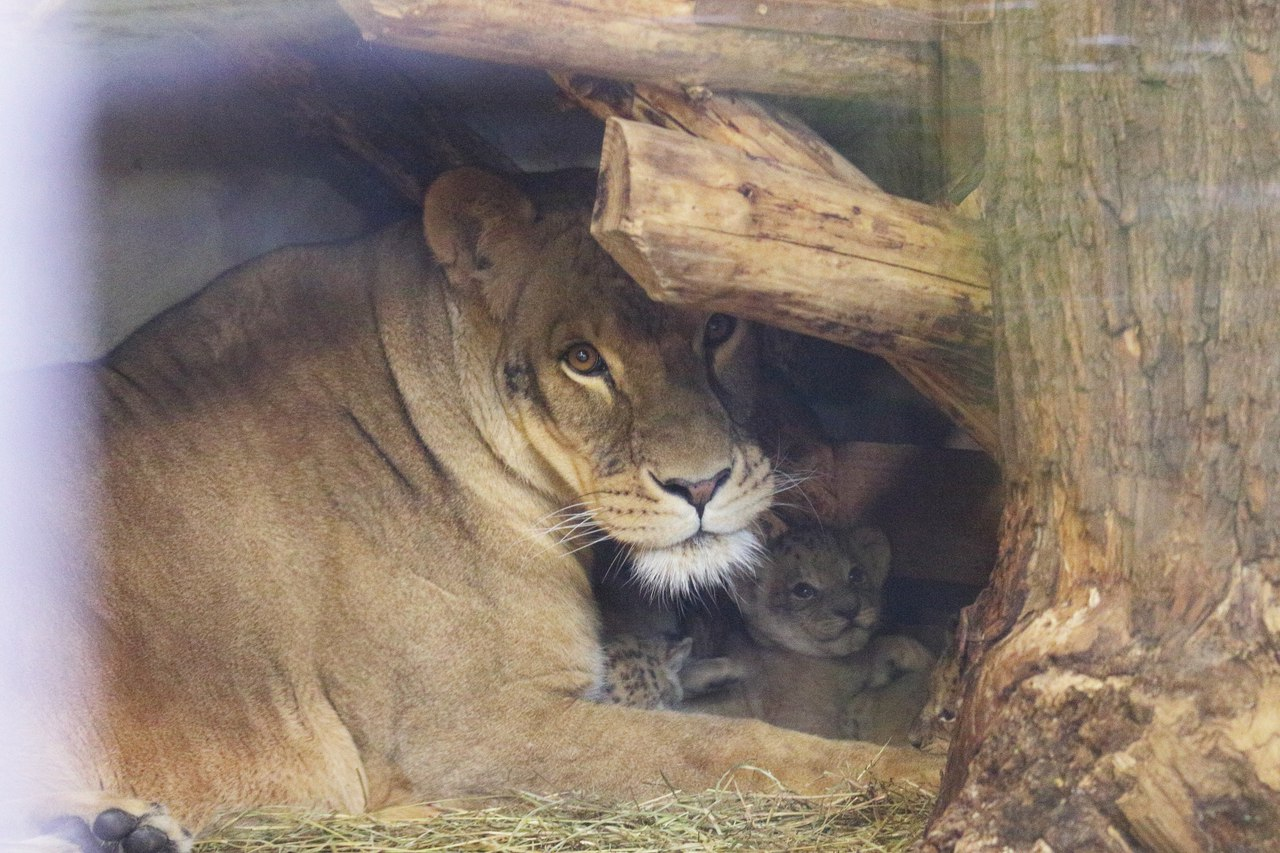 For the first time in 20 years at the Leningrad zoo born cubs 02