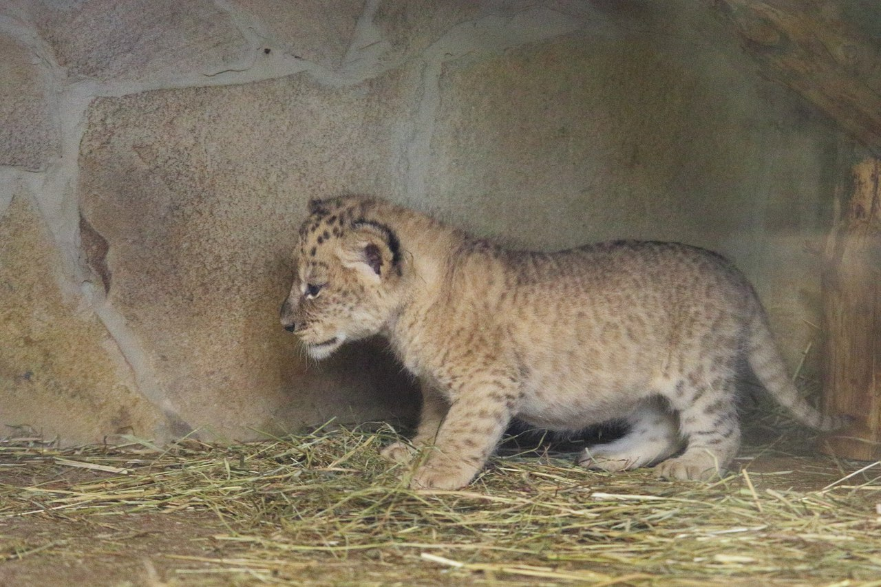 For the first time in 20 years at the Leningrad zoo born cubs 03