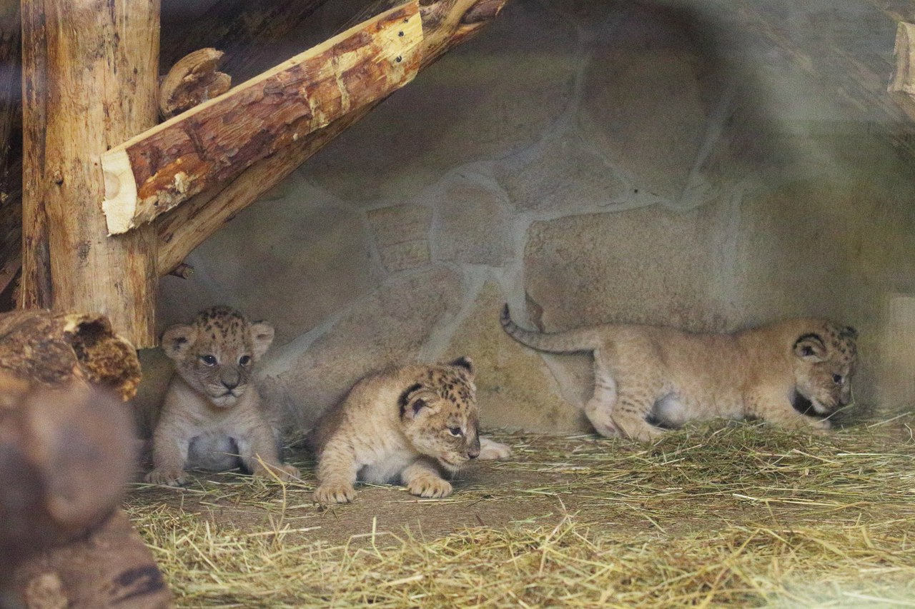 For the first time in 20 years at the Leningrad zoo born cubs 05