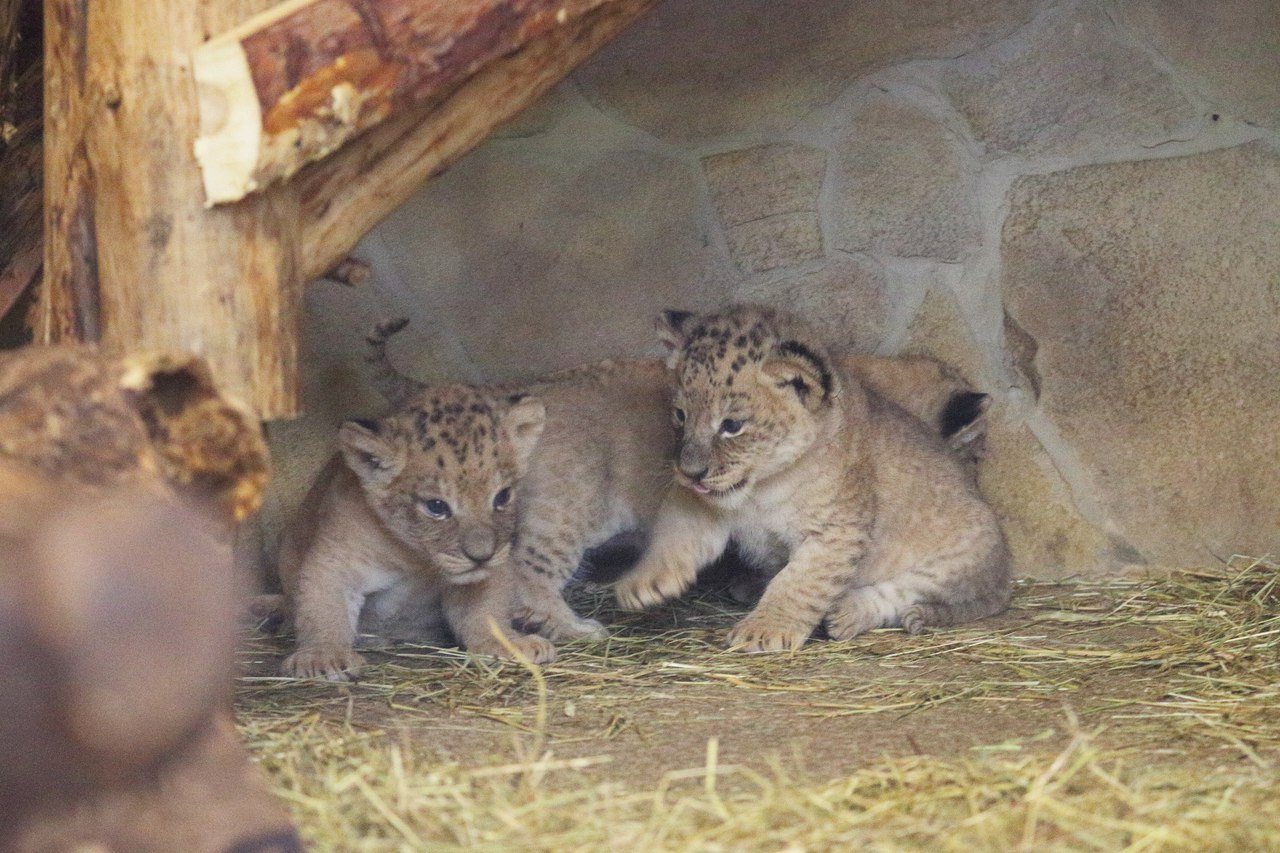 For the first time in 20 years at the Leningrad zoo born cubs 06