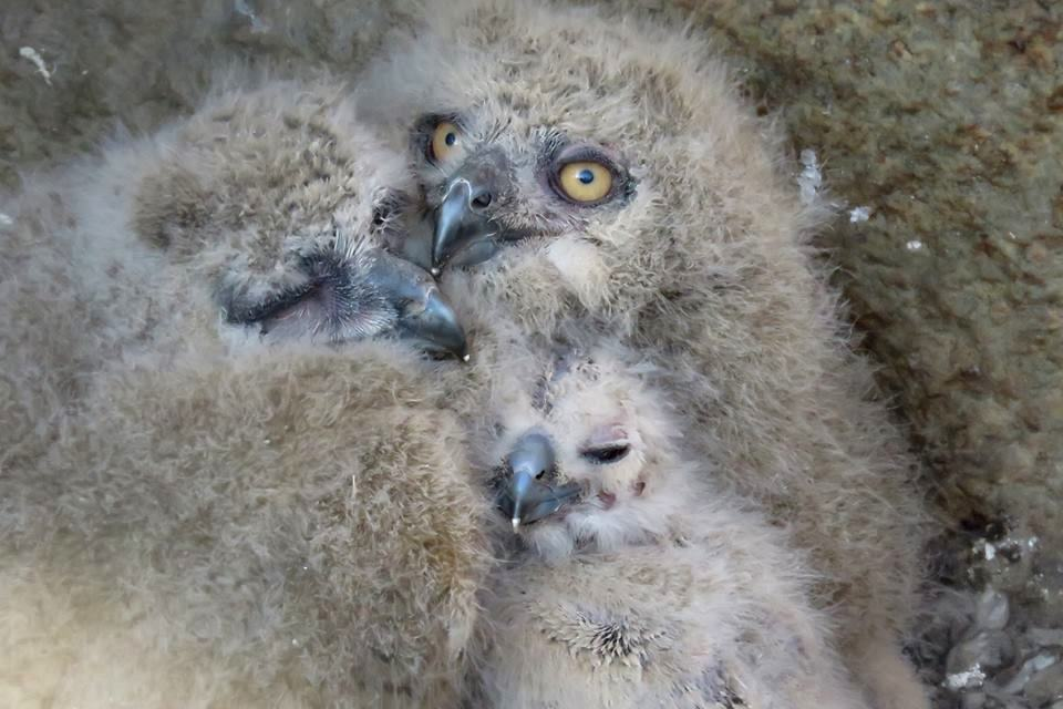 In the Moscow zoo have shown the eagle owl nestlings 01