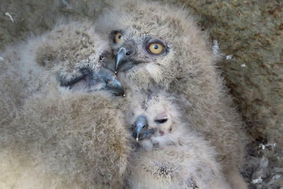 В Московском зоопарке показали птенцов филина