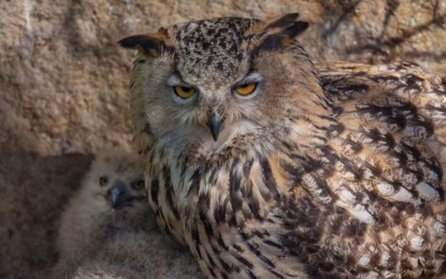 In the Moscow zoo have shown the eagle owl nestlings 02
