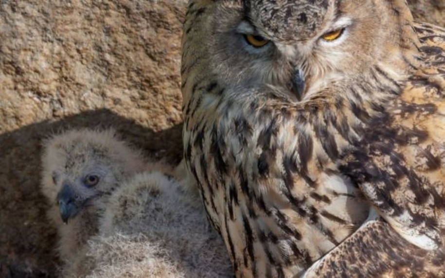 In the Moscow zoo have shown the eagle owl nestlings 03