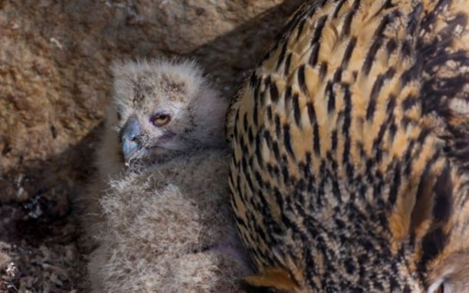In the Moscow zoo have shown the eagle owl nestlings 04