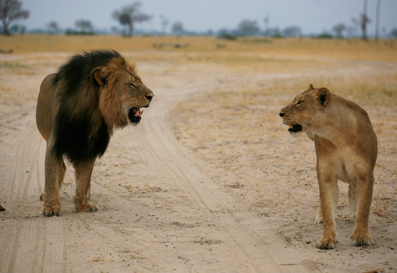 National Park -Hwange- the lion and Cecil 05