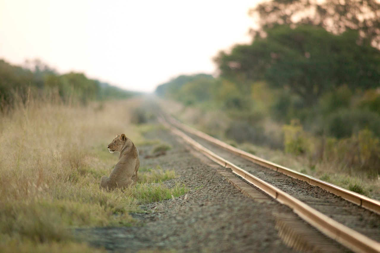 National Park -Hwange- the lion and Cecil 09