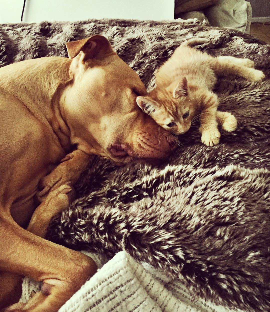 Rescued pit bull made friends with a kitten 03