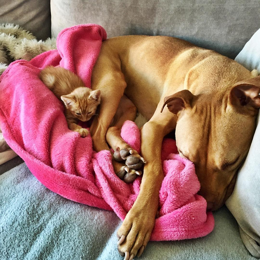 Rescued pit bull made friends with a kitten 04