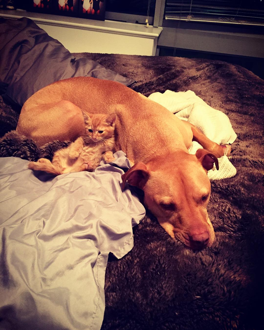 Rescued pit bull made friends with a kitten 07
