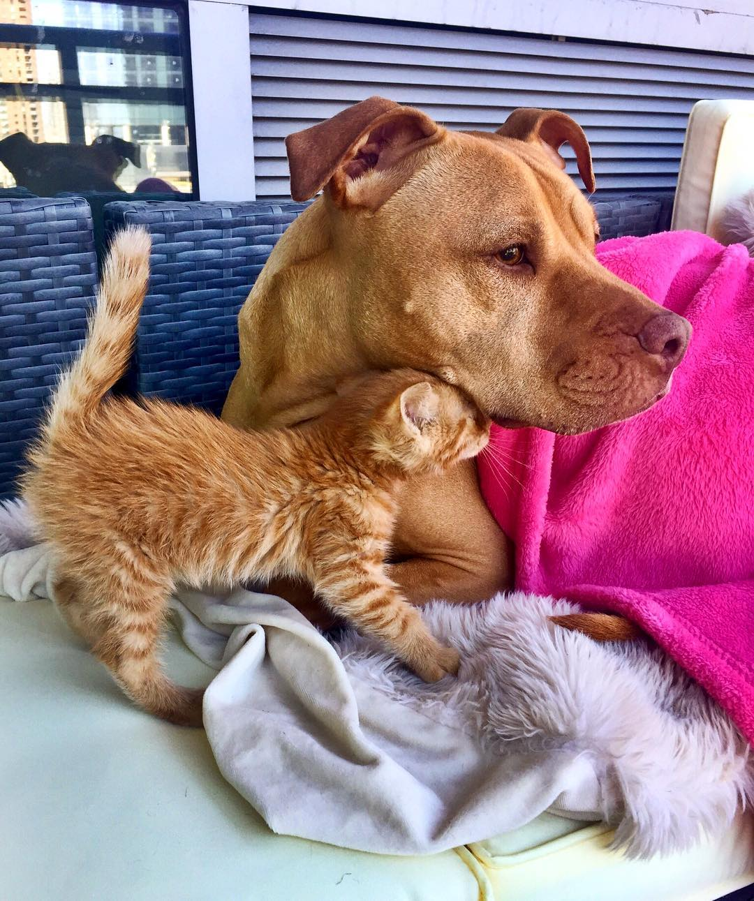 Rescued pit bull made friends with a kitten 09