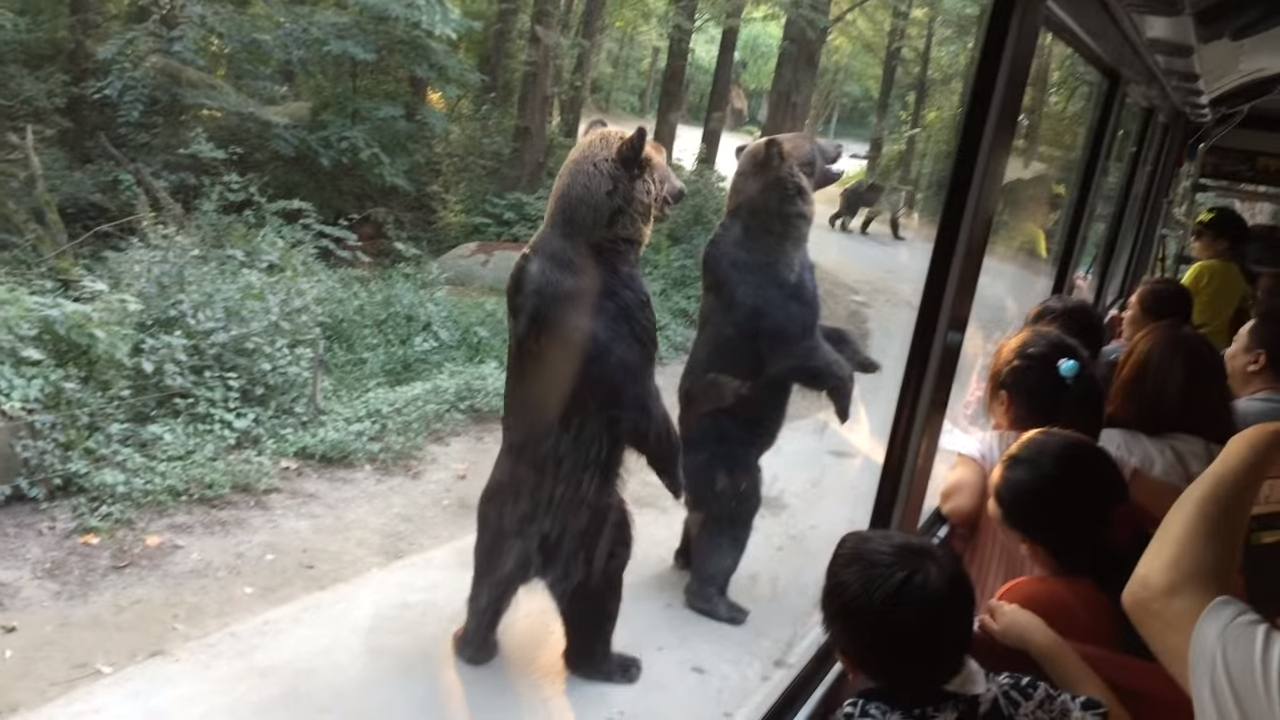 Smart bears found a way to treat tourists