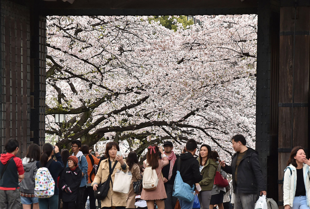 The cherry blossoms in Japan 03