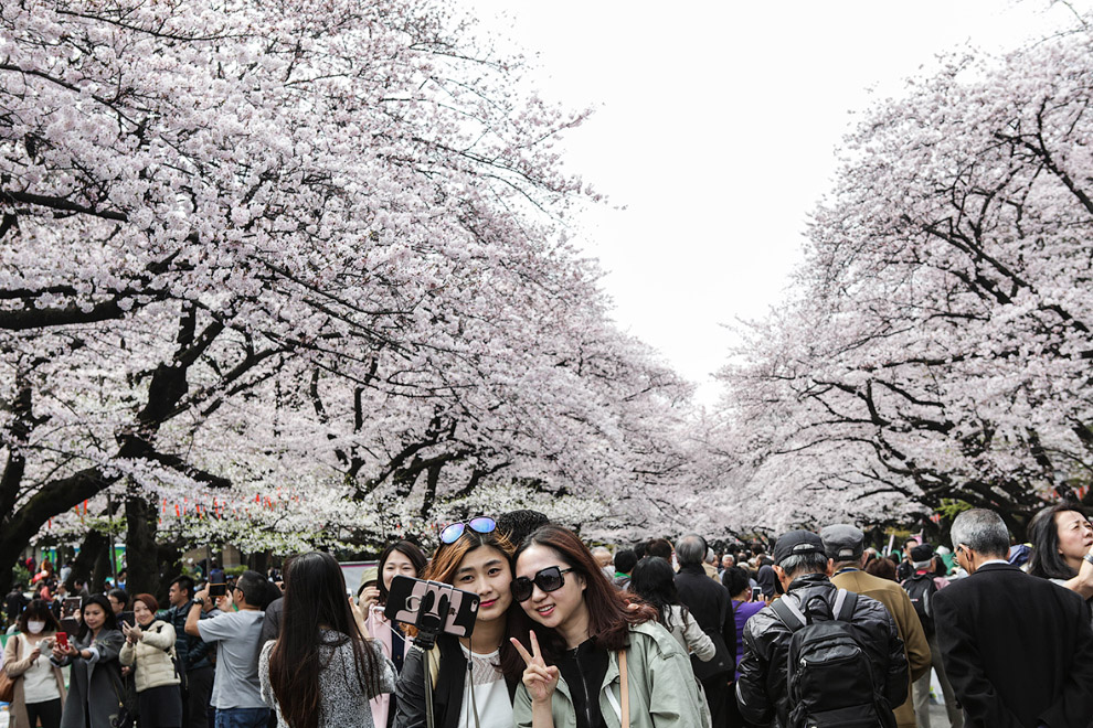 The cherry blossoms in Japan 15