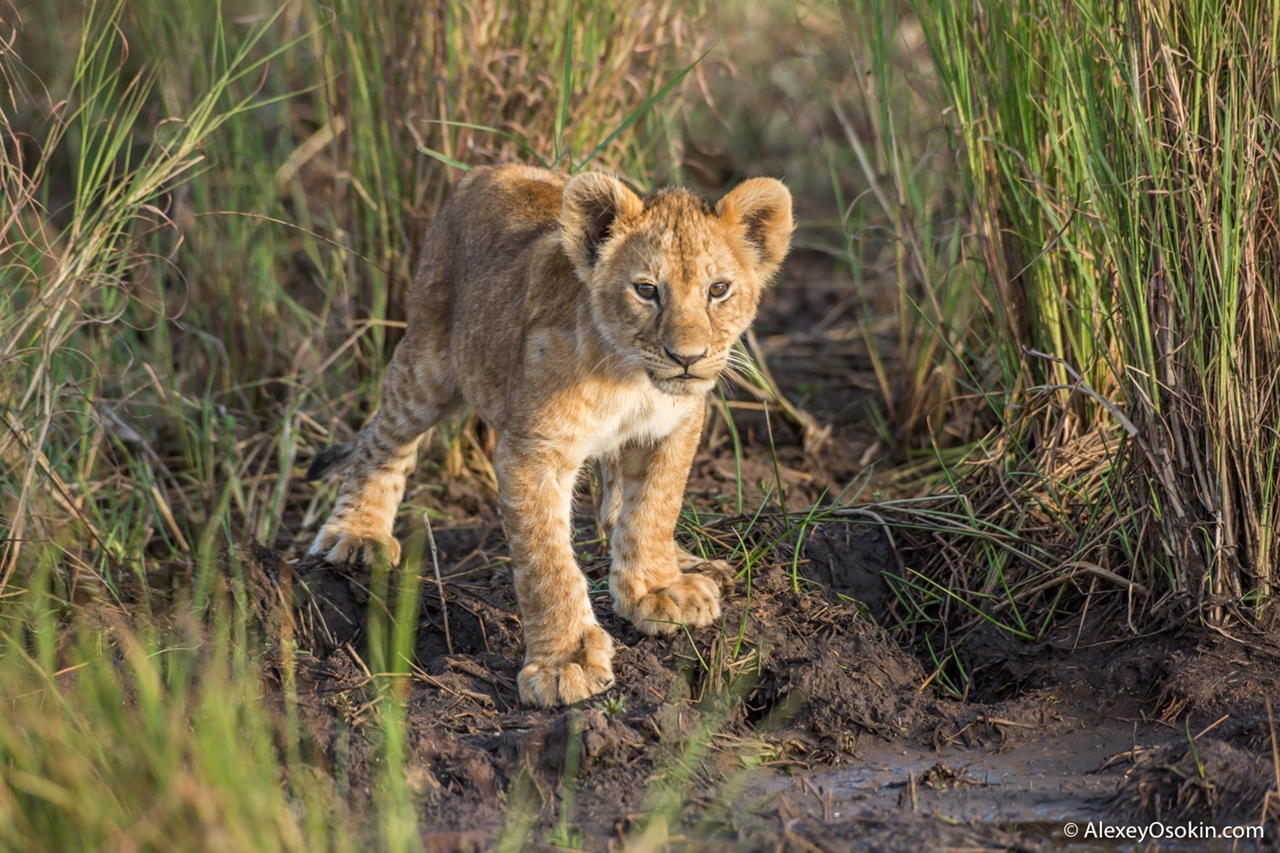 The history of lion Masai Mara 02