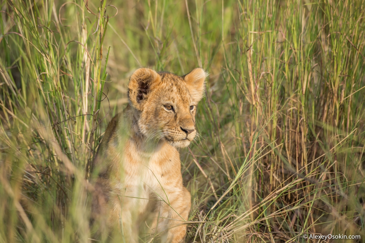 The history of lion Masai Mara 03