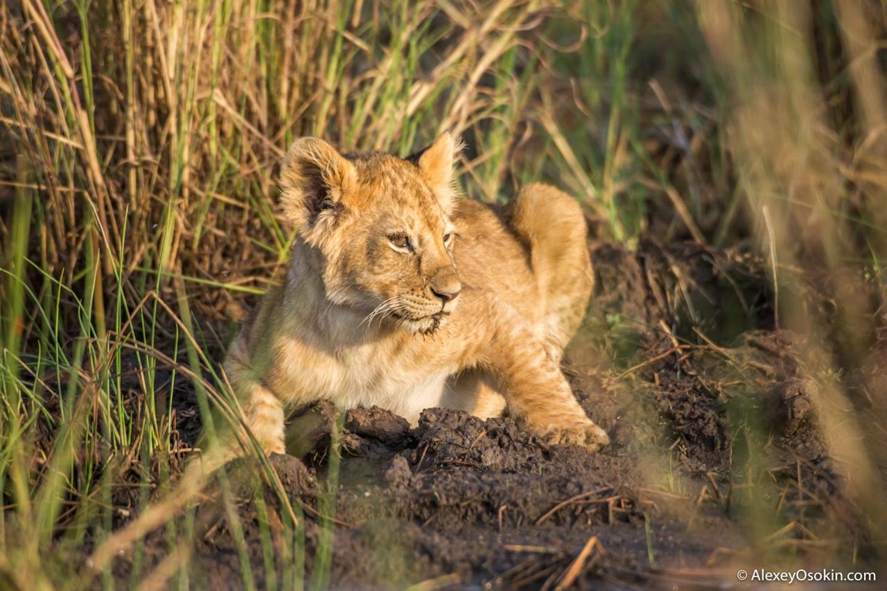 The history of lion Masai Mara 04